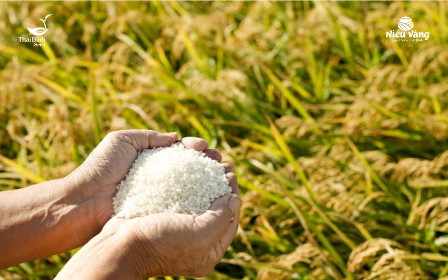 Cách chọn mua gạo ngon sạch không phải ai cũng biết tin-tuc