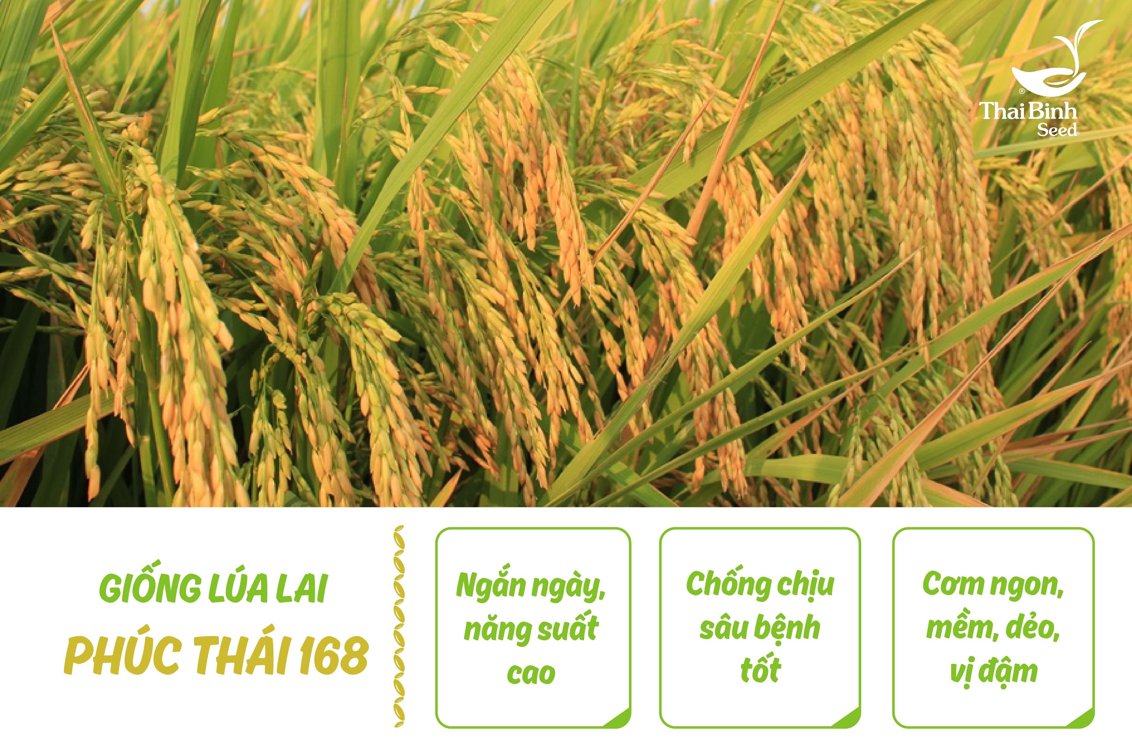 Top 5 giống lúa cho gạo ngon nhất 2018 tin-tuc