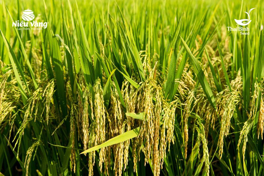 5 bí quyết chọn gạo ngon sạch ngay từ cái nhìn đầu tiên tin-tuc