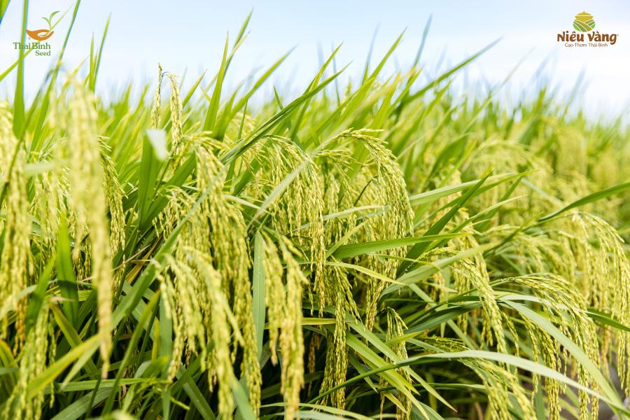 Top 5 các loại gạo dinh dưỡng và siêu sạch cho người mang thai tin-tuc